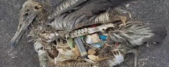 """【中国塑料机械网 塑说各地】信天翁是世界上最大的飞鸟,也是中途岛的主人;它们性格温和,忠于爱情和家庭,每年七八月里,它们都会回到中途岛,双双对对跳起""""爱情之舞""""。但第一次踏上中途岛,美国摄影师乔丹却看到一座信天翁墓地:在烈日下腐化的信天翁尸体,被成片垃圾包围着;而在无数死去幼鸟的肚子里,各种塑料碎片塞满了它们的胃。这些都是通过太平洋环流带来的城市垃圾。"""
